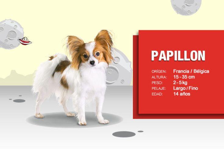 perro-papillon-2