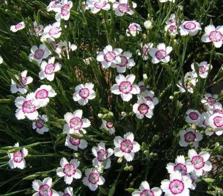 Dianthus deltoides 'Arctic Fire' - C-D - A-Z Botanical Name - Flowers Seeds