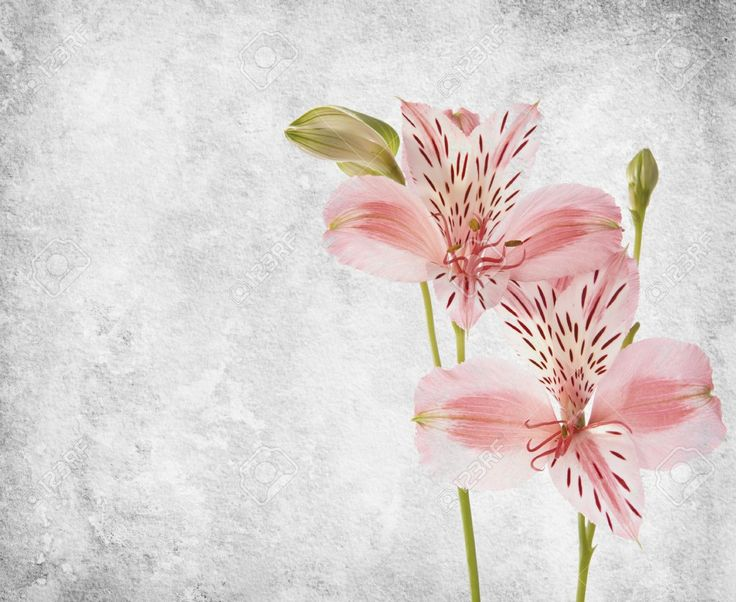 Alstroemeria flowers against a background of old paper