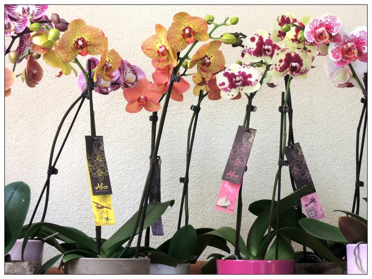 Alice Adventures Phalaenopsis Orchids