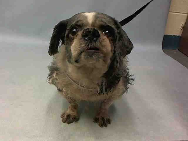 APPLEPIE - A1093172 - - Manhattan  Please Share:TO BE DESTROYED 10/16/16  ** NEW HOPE RESCUE ONLY DUE TO MEDICAL ** SWEET SENIOR ** Applepie arrived wagging his tail, this sweet twelve year old Shih Tzu mixed stray was named after an all American treat, but there is nothing happy about what is going to happen to him tomorrow. Applepie is listed to be destroyed because he needs medical care, his aging body needs to be seen by a real Vet to check him out, not die in an overcr