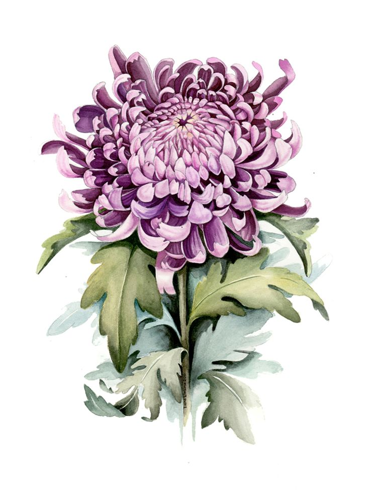 Chrysanthemum_780_
