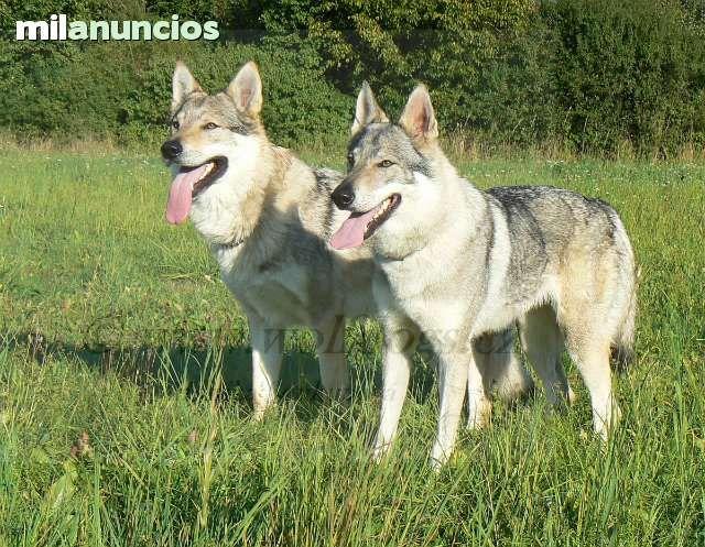 MIL ANUNCIOS.COM - Perro lobo checoslovaco. Compra-venta de perros perro lobo checoslovaco. Regalo de cachorros..