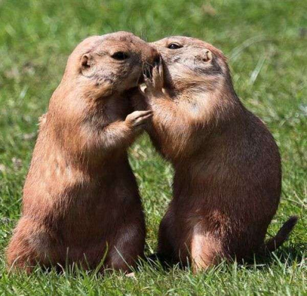 Fresh!Cute Animal, Prairie Dogs, Pets, Friendship, Creatures, Daily Awww, Sweets Nothing, The Secret, Kisses