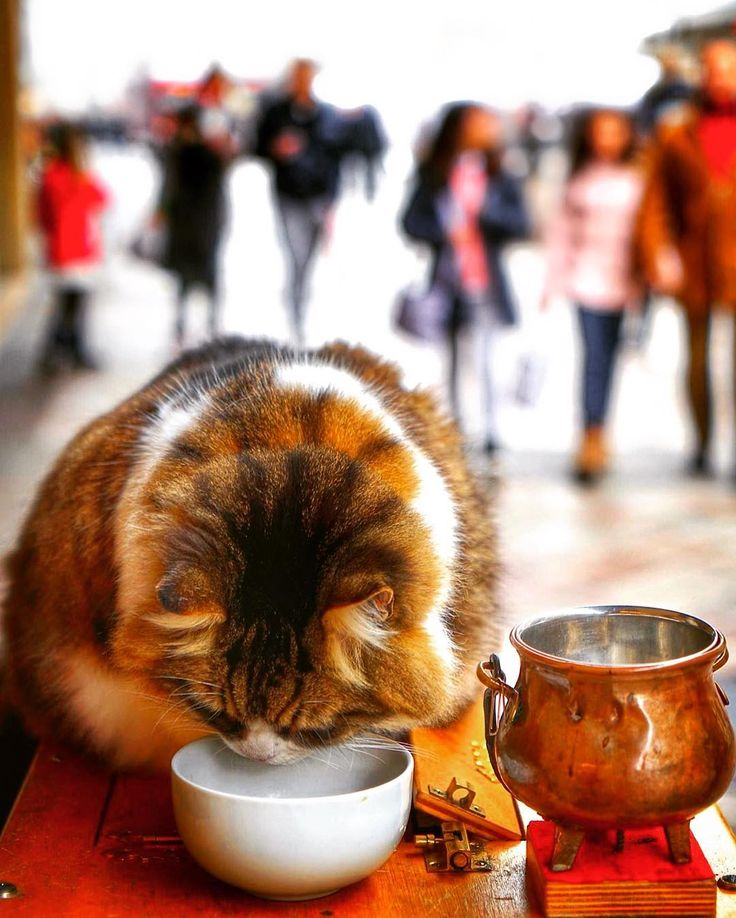 #Oddball #Furball.  Well this is an interesting sighting I don't see everyday!  A fluffy #feline perched on a podium tending to his bowl of goodies on the main shopping street #RuedeRhone in #Geneva #Switzerland.  Its owner was next to him dressed as Santa Claus (not shown).  It's fascinating wherever you travel to and immerse yourself in that city's culture and ways even for a day you'll always find something to pique your interest and hold your gaze just a tad longer. Like this one…