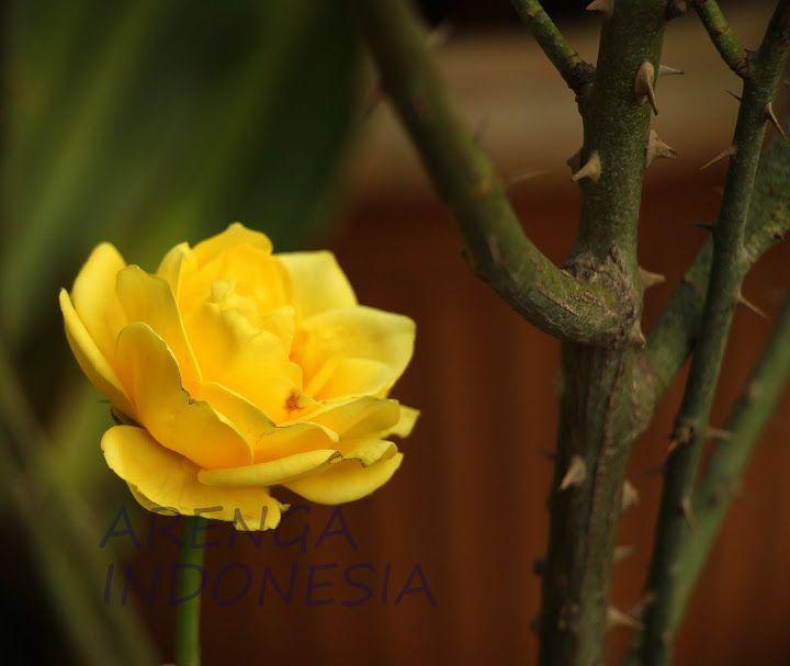 (NewPost) Teh Bunga Mawar, Manfaat dan Cara Membuat #HidupSehat http://goo.gl/n09ahi