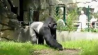 Gorilla Pranks Berlin Zoo Workers - Funny Videos at Videobash