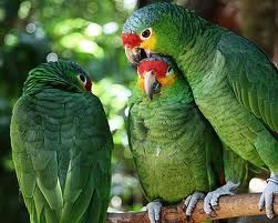 AMAZONS: A list of Amazon parrots that need re-homing on the Birdline UK website  http://www.parrot-rescue.org.uk/portalid/0/Parrots/BirdlineParrotRehoming/tabid/169/agentType/ViewType/PropertyTypeID/5/Default.aspx