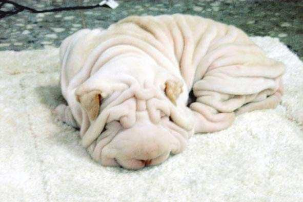 This is not a Bath Towel so don't Put It In The Laundry - The Chinese Shar-Pei is a large dog with wrinkled skin