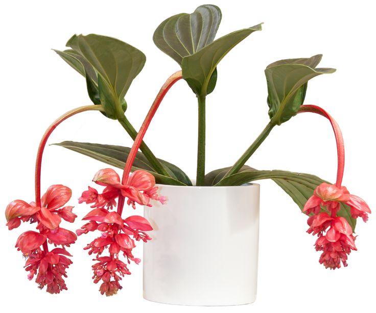Medinilla koristaa itsensä kevään ja kesän ajaksi, jopa puolimetrisillä, lehtihangasta roikkuvilla vaaleanpunaisilla kukkaryppäillä.