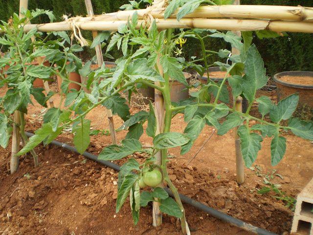 17 mejores ideas sobre cultivar tomates en pinterest for Plantar pimientos y tomates