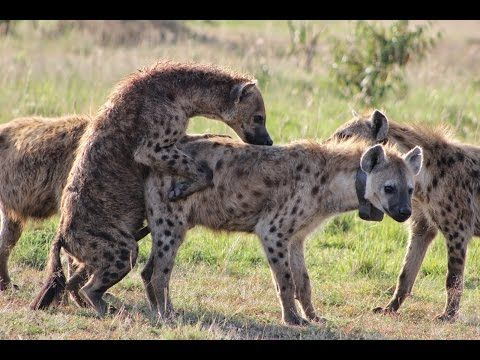 Animals Mating - Funny Animals Videos - Wild Animals HD