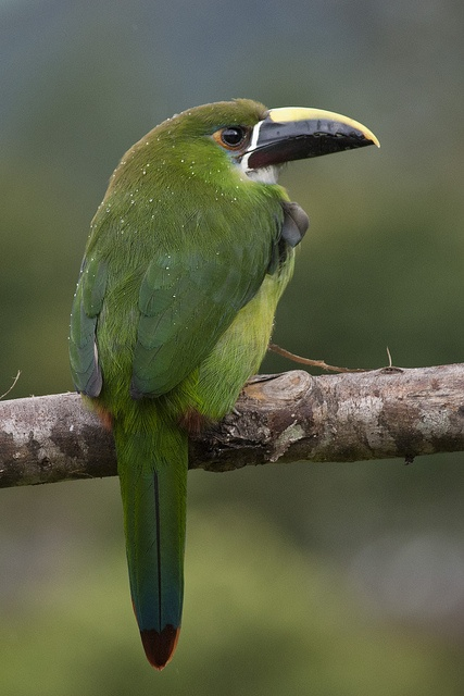 Emerald Toucanet.