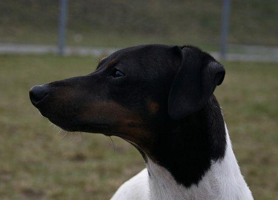 Il Terrier Giapponese un cane dal temperamento vivace e gioioso che ha bisogno di un padrone sensibile e presente.