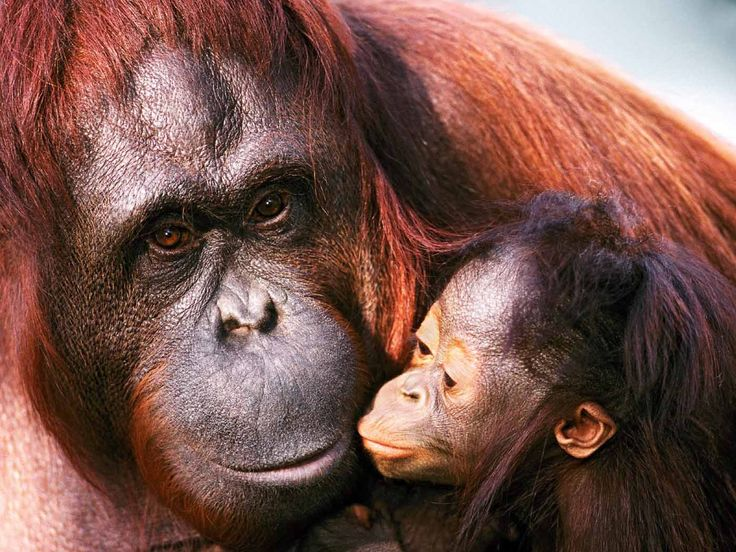 """Orang Utan (literally means """"forest people""""), Borneo, Indonesia: one of the most intelligent primates next to chimpz..."""