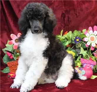 Name: Riggs Birthday:12/5/2013 Sex:Male Description: Patches-Caspian Black & White Brindle Parti Standard #Poodle for Sale. Very Attentive Ready Now Call For Price http://www.renownedpoodles.com/