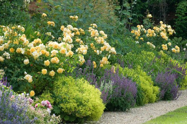 Shrub Roses can be combined effectively with long-blooming perennials. This superb traditional border is a good example .