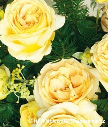 Róża wielkokwiatowa (nostalgiczna) 'Candelight' Rosa 'Candelight'  Kwiaty są duże, ciemnożółte, w kształcie czarki mocno wypełnionej płat...