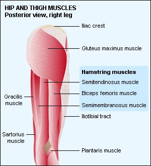 Posterior Hip Hamstrings Hamstring Muscles Thigh