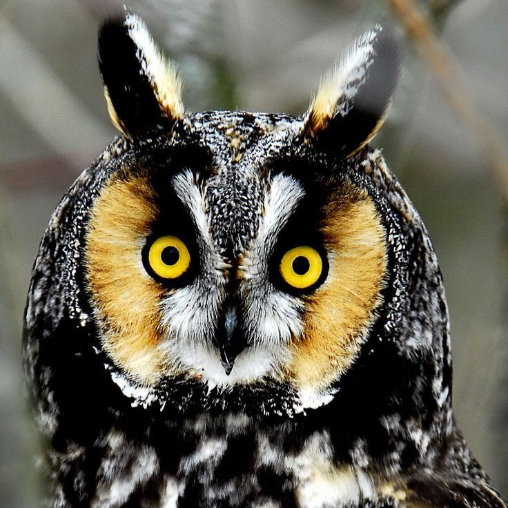 """Canadian Long-eared Owl. A medium sized owl that is mostly brown and cryptically marked.  It has conspicuous """"ear"""" tufts,  an orange facial disk and  white feathers forming an X between the eyes."""