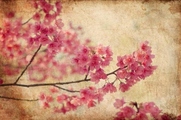 Cherry Blossoms by Rich Leighton - Cherry Blossoms Photograph - Cherry Blossoms Fine Art Prints and Posters for Sale