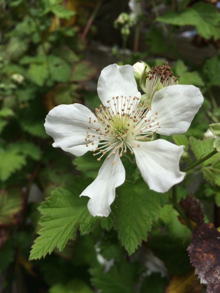 Boysenberry flower