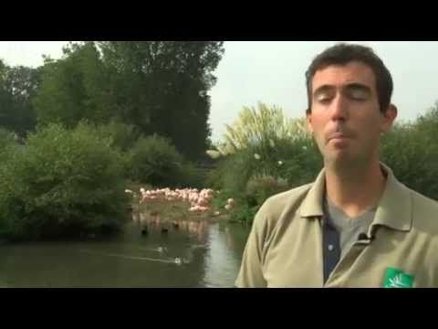 BBC News   Flamingo society  Oldest and pinkest are most popular - YouTube