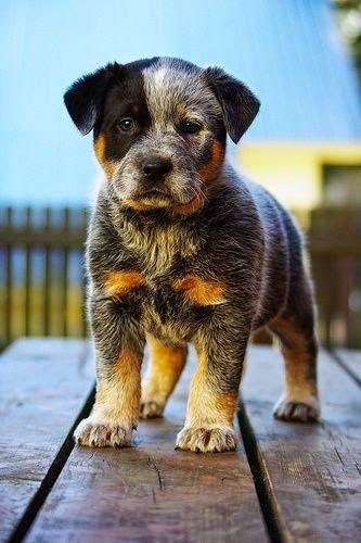 Cutest animal on earth! Blue Heeler Puppy