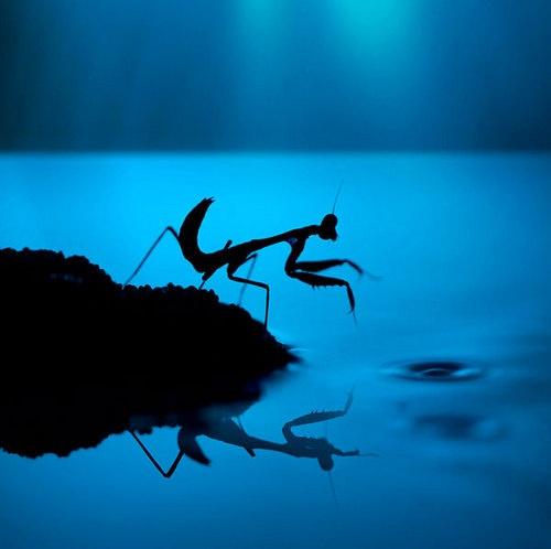 reflection: Macro, Nature, Insects, Praying Mantis, Photography, Animal