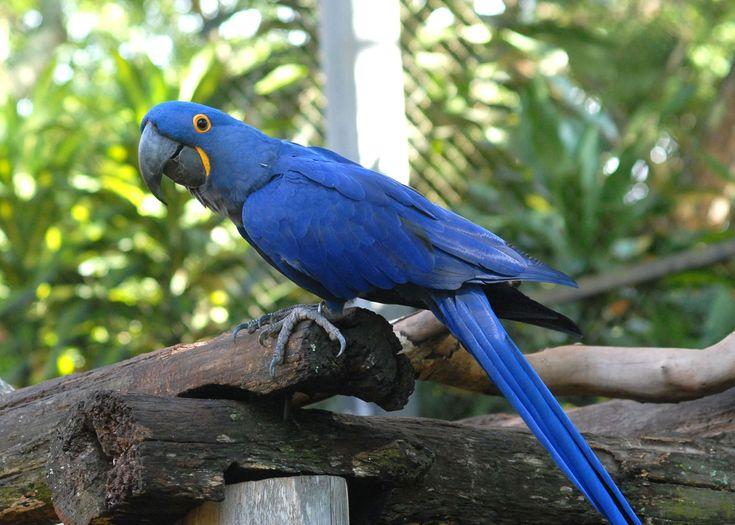 Arara-azul-pequena (Anodorhynchus glaucus)