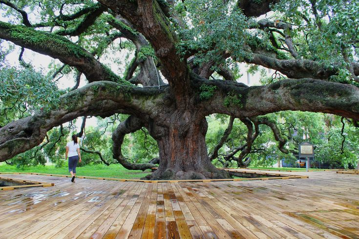The Treaty Oak - Jacksonville, Florida.