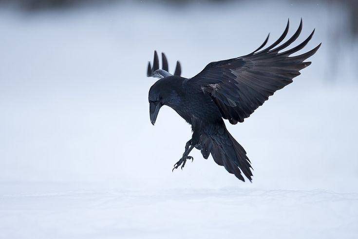 Raven landing by T..