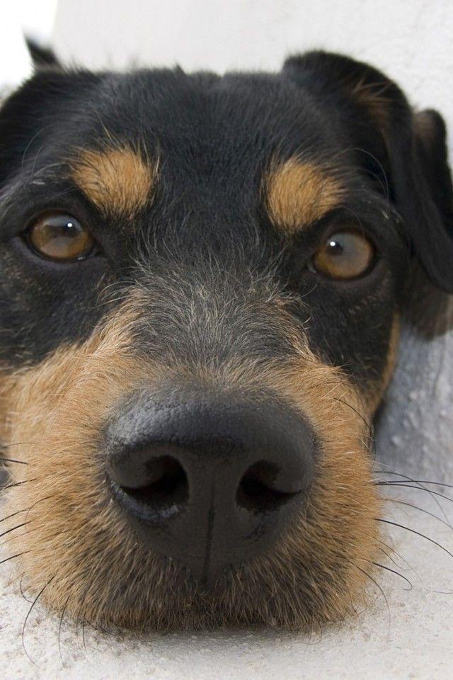 Jagdterrier Puppy Dogs