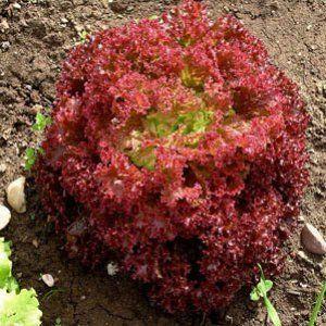 Seminte de salata creata Lollo Rosa