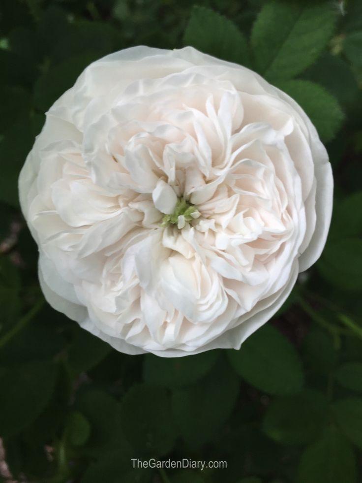 madame hardy roses pinterest rosier du jardin et roses. Black Bedroom Furniture Sets. Home Design Ideas