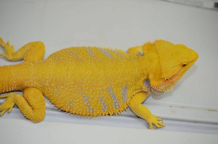 Helios - Gorgeous Citrus Bearded Dragon