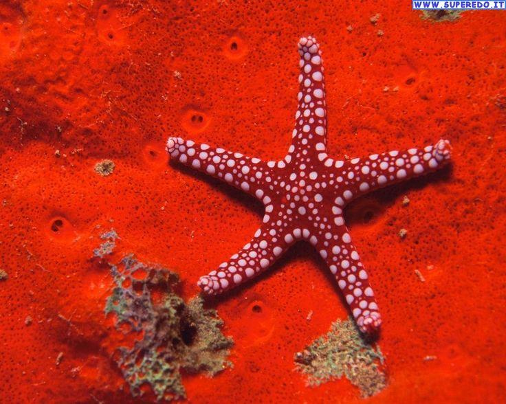 mer Rouge Foto Stelle Marine • 27 Foto in alta