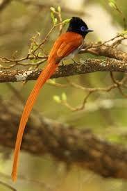 African Paradise-Flycatcher at Harold Porter Botanical Gardens, Western Cape