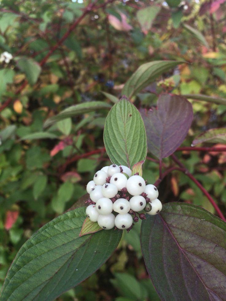 Cornus sericea est une espèce d'arbuste du genre Cornus endémique du Canada et des États-Unis. - Donc oui ... Cornouiller  :-)