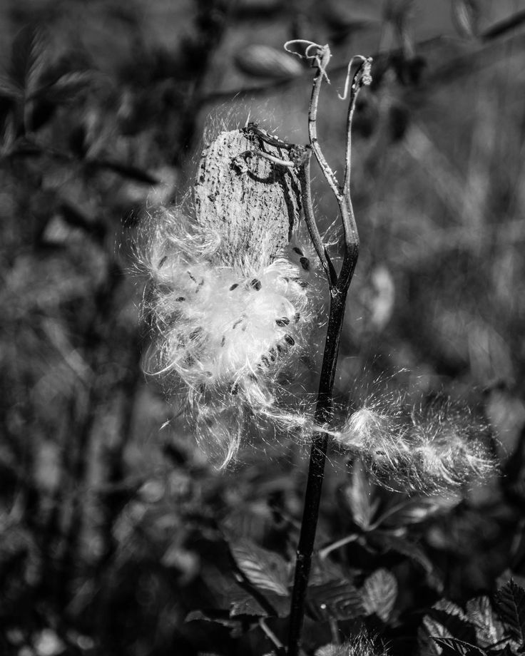 Milkweed in monochrome