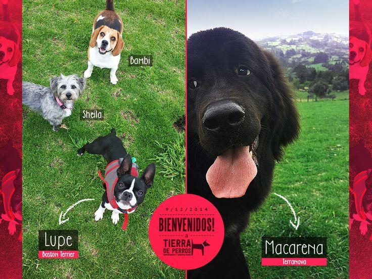 Lupe (Boston Terrier) y Macarena (Terranova), son las nuevas integrantes de Tierra de Perros.