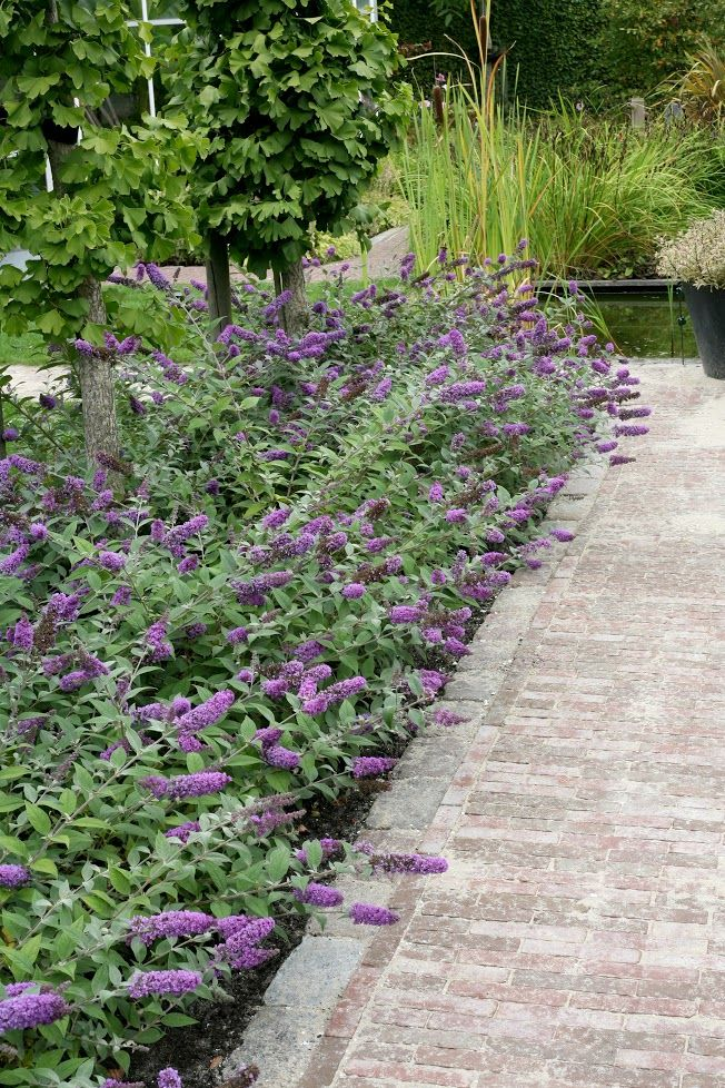 Line your path or sidewalk with Lo & Behold® 'Blue Chip' dwarf butterfly bush. Watch the butterflies dance in your garden. #ad Enter to win $250 gift certificate from Proven Winners.
