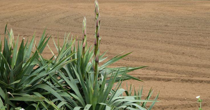 Cómo podar una planta de yuca del tallo floral muerto. Las plantas de yuca crecen tanto en forma de árbol como de arbusto. Los árboles de yuca son altos con hojas gruesas y fibrosas en las puntas de sus ramas. Los árboles de yuca comunes son la bayoneta española (Yucca aloifolia) y el árbol Joshua (Yucca brevifolia). Los arbustos de yuca, como el yuca peludo (Yucca filamentosa), son plantas con ...