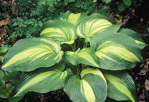 'Hollywood Lights' Hosta