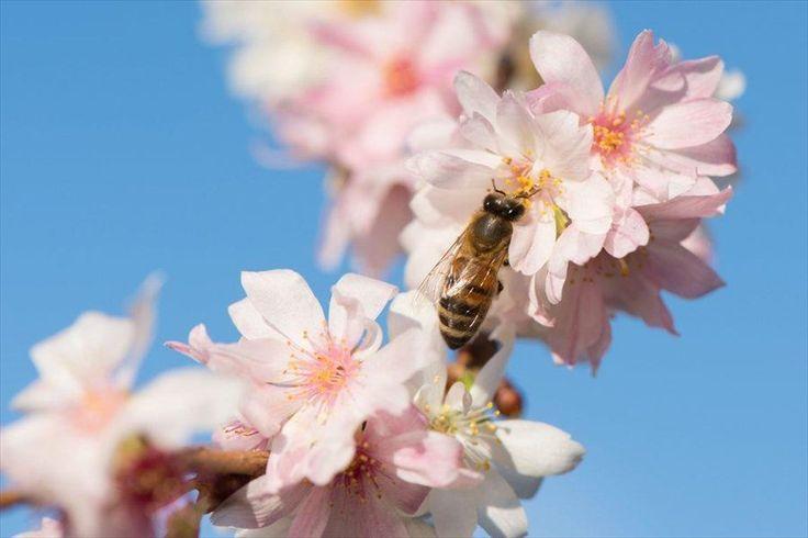 Οι κερασιές ανθίσανε και έχουν ήδη αρχίσει να βγάζουν δειλά δειλά τους πρώτους καρπούς τους! Τα κεράσια μας θα είναι σε λίγο καιρό και πάλι στην αγορά φρέσκα και δροσερά.