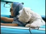 Little Cesars Cutest Westie is back! « Mutt News, This is me and my future westie, in my future car...aren't we fabulous!!??