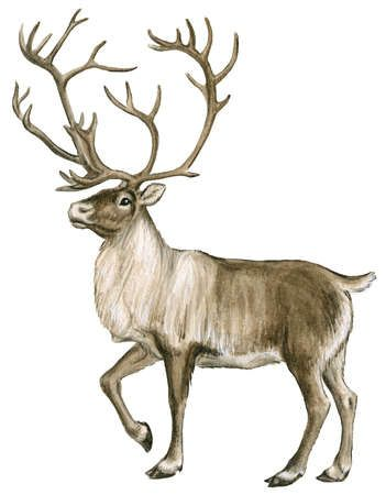 Caribou, or reindeer, are found in the Arctic tundra and boreal forests of Greenland, Scandinavia, Russia, Alaska, and Canada