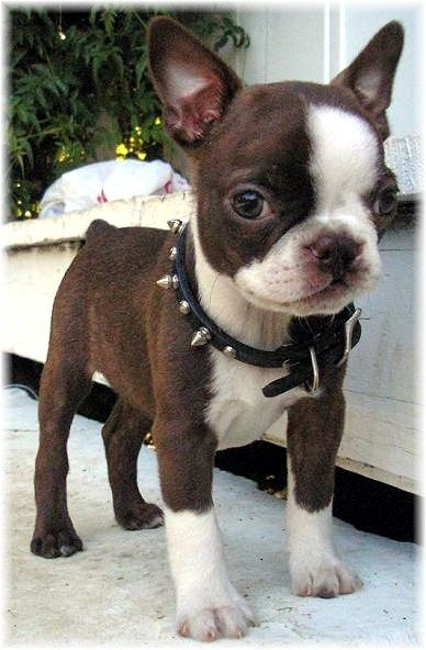 French bulldog puppy with studded collar