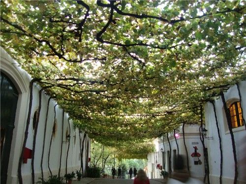Climbing Vines for Shady Areas | AccuWeather.com Photo Gallery: In the Shade of climbing vines Image