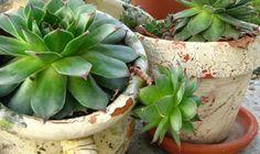 NEUNIŠTIVA ENERGIJA: Čaj od ove biljke vam može pomoći kod svih bolova! Evo kako da ga spremite « Magazin-Recepti